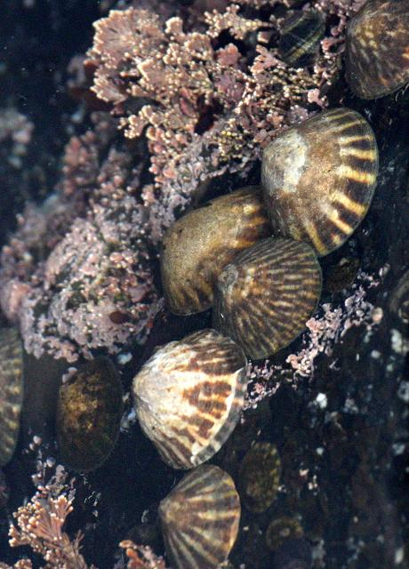 Various Shield Limpets