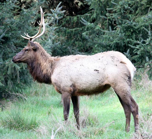 Roosevelt Elk In Fern Canyon In Prairie Creek State Park
