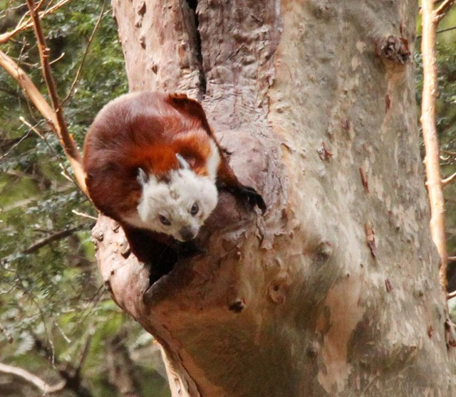 Chinese giant flying squirrel - photo#3