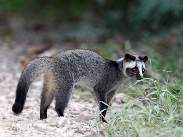 「ハクビシン」というしばしば見かける動物について知りたい , 動物を知り、動物を愛す
