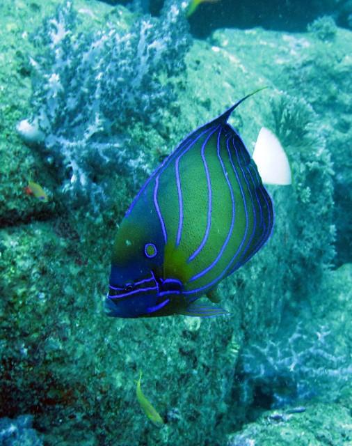 Pomacanthidae - Pomacanthus annularis - Blue-ringed Angelfish